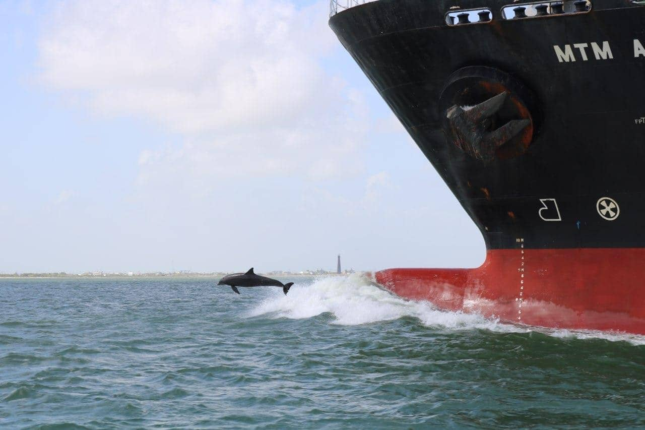 Dollphin jumping out of the bow wake of large ship in the Galveston ship channel.